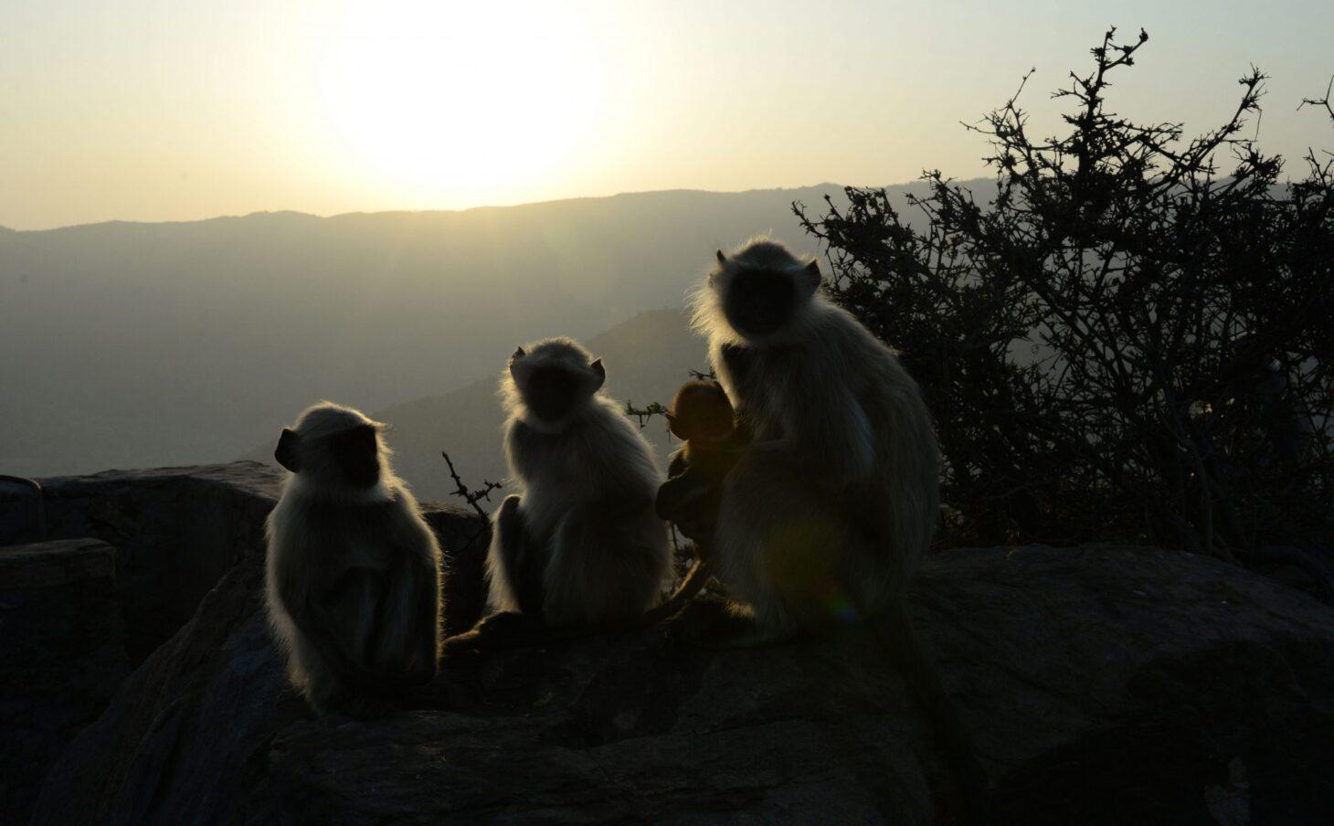 Monkeys at sunrise, Pushkar